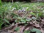 Ivy-leaf Violet, Viola hederacea.