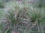 Spiny-head Mat-rush (Lomandra longifolia)