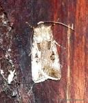 Brown Cutworm Moth (Agrotis munda)
