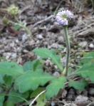 Bottle Daisy (Lagenifera stipitata/huegelii)