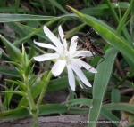 Prickly Starwort (Stellaria pungens)
