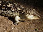 Blotched Bluetongue Lizard (Tiliqua nigrolutea)