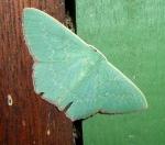 Emerald moth, ?Parsinocyma