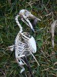 Australian Magpie skeleton