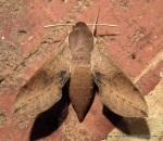 Coprosma Hawk Moth (Hippotion scrofa)