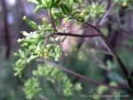 Senecio, broad leaf, toothed margin.