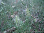 unknown grass