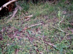 Hydrocotyle laxiflora