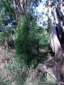 Young Exocarpus cupressiformis