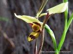Tiger Orchid, Diuris ?sulphurea.