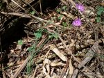 Common Fringe-lily showing narrow, tubular leaves.