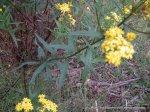 Firewheel Groundsel, Senecio linearifolius.