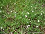 Cinquefoil Geranium (Geranium Potentilloides)