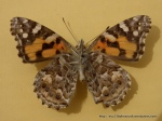Painted Lady Vanessa kershawi- underwing
