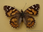 Painted Lady Vanessa kershawi