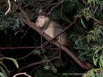 Short-eared Possum or Bobuck (Trichosurus cunninghami)