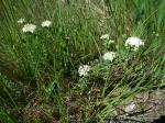 Slender Rice Flower Pimelea linifolia 2