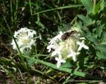 Slender Rice Flower Pimelea linifolia 4