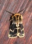 Crimson Tiger Moth, Spilosoma curvata