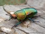 Golden Stag Beetle, Lamprima aurata.