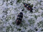 Jewel Beetle, Castiarina sp.