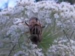 Native Drone Fly - Eristalinus punctulatus