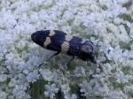 Jewel Beetle, Castiarina sexplagiata