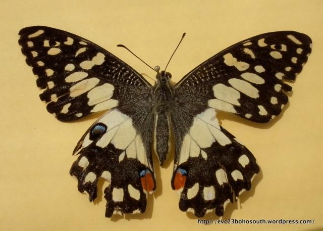 Chequered Swallowtail Papilio demoleus