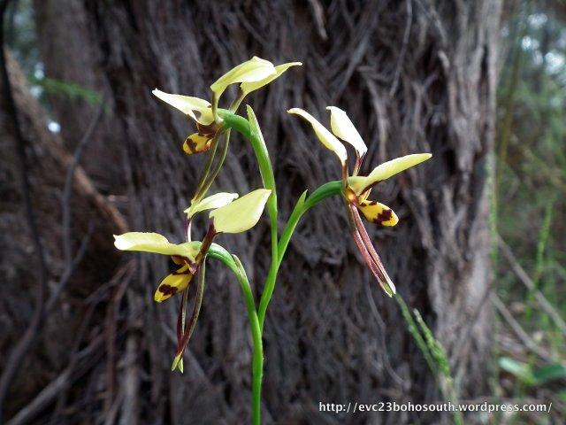 Tiger Orchid (Diuris sulphurea)