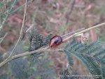 Acacia Leaf Beetle - Dicranosterna ?picea