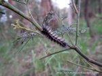 Wooly Bear Moth caterpillar, Anthella?acuta.