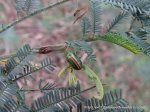 Acacia Golden Green Leaf Beetle - Calomela ?juncta