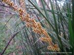 Spiny-headed Mat-rush in flower, Lomandra longifolia.