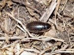 Unidentified native cockroach