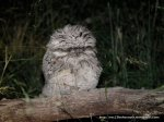 Fluffy fledgeling, rather vulnerable on the ground.