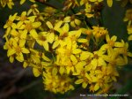 Its yellow flowers are most distinctive.