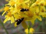 Moths (Glyphipterix chrysoplanetis?) on Firewheel Groundsel