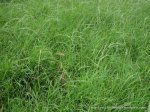 Weeping Grass meadow (Microlaena stipoides)