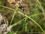 Swamp Tigertail (Synthemis eustalacta)