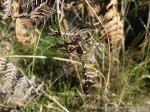 Swamp Tigertail (Synthemis eustalacta) near the dam