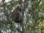 Female Koala in a Narrow-leaf Peppermint eucalypt.