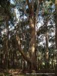 This large Blue Gum lost a major branch over Summer 2011-12