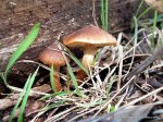 Gymnopilus? Fungus on rotting wood.