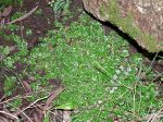 Common Liverwort, Aneura alterniloba.