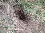 Long-nosed Bandicoot - typical, neat, conical digging.