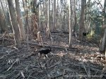 Dense Blue Gum regrowth following logging in the 1970's