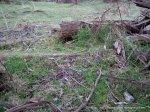 Antechinus on forest floor