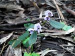 Common Hovea (Hovea heterophylla) - the first (& tiny) record for our forest.