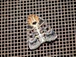 Proteuxoa sanguinipuncta, Noctuoidea 31.12.12.