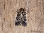 Proteuxoa sanguinipuncta, Noctuoidea 31.12.12